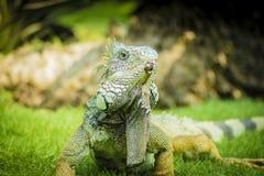 瓜亚基尔鬣鳞蜥  库存图片