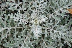 瓜叶菊海在秋天庭院里 免版税图库摄影