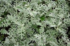 瓜叶菊银,瓜叶菊海品种银色尘土在庭院里 库存图片