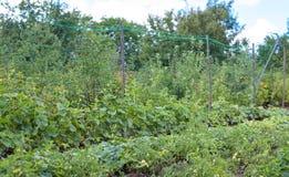 黄瓜和蕃茄的耕种在土壤 免版税库存图片
