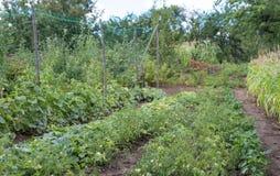 黄瓜和蕃茄的耕种在土壤 免版税库存照片