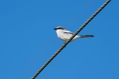 瓜在导线的shrike鸟 库存照片