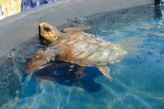 瓜在水池的海龟 免版税库存照片