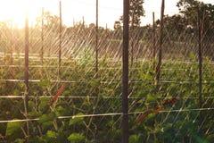 年轻黄瓜开花的卵巢  免版税库存照片