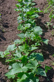黄瓜植物 库存图片