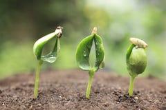 黄瓜的新芽 库存照片
