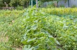 黄瓜的耕种在土壤的在庭院里 免版税库存图片