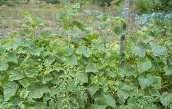 黄瓜的耕种在土壤的 图库摄影
