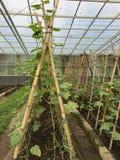 黄瓜种植园 库存照片