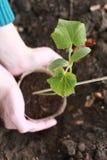 黄瓜种植 图库摄影