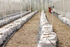 瓜胡椒自温室 库存图片