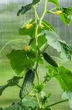 黄瓜自温室 免版税库存图片