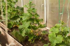 黄瓜自温室 库存照片