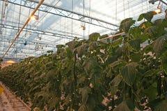 黄瓜自现代荷兰温室 免版税图库摄影