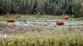 瓜达卢佩河Nipomo沙丘,加利福尼亚,美国- 2014年10月8日:牛或母牛在一个有雾的早晨,停泊加州的沼泽 免版税库存图片