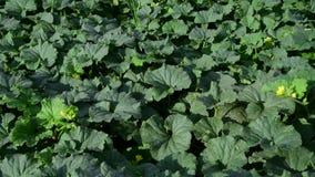 瓜领域的片段与叶子和绿色果子的 股票录像