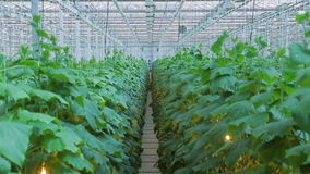 黄瓜绿色植物在农业的和工业的复合体增长 股票录像