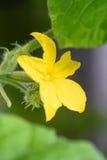 黄瓜绿色植物 免版税库存照片