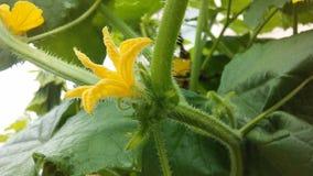 黄瓜Cucumis幼芽开花在庭院里 免版税图库摄影