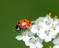 瓢虫一点授粉一朵美丽的花 免版税库存照片