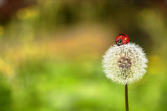 瓢虫和蒲公英 免版税库存图片