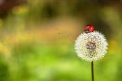 瓢虫和蒲公英 库存照片