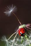瓢虫和蒲公英 库存图片
