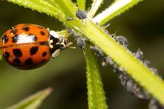 瓢虫和蚜虫 库存照片