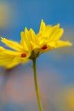 瓢虫和黄色花 库存照片