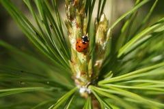 瓢虫在云杉 免版税图库摄影
