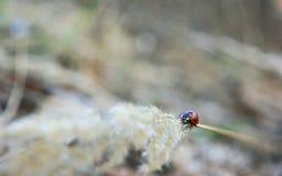 瓢虫在小尖峰离开 库存图片