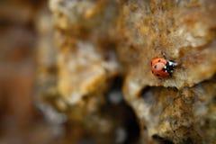 瓢虫在岩石的水中 免版税库存照片