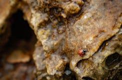 瓢虫在岩石的水中 免版税图库摄影