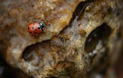 瓢虫在岩石的水中 库存照片