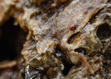 瓢虫在岩石的水中 免版税库存图片