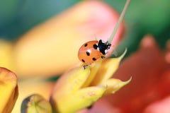 瓢虫在庭院里旅行 库存图片