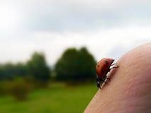瓢虫在手边 库存照片