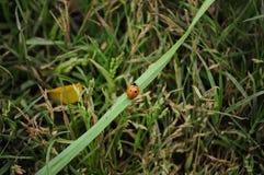 瓢虫在新鲜的绿草使用 免版税库存照片