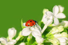 瓢虫在白花爬行 免版税库存照片