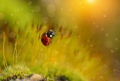瓢虫在青苔森林里 免版税库存照片
