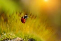瓢虫在青苔森林里 免版税库存图片