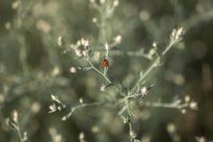 瓢虫坐一个分支在夏天 免版税库存照片