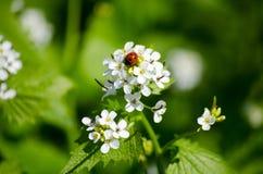 瓢虫坐一朵花在草甸,特写镜头 明亮的春天自然 库存照片