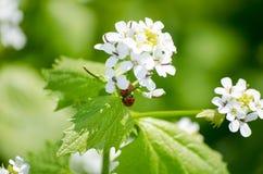 瓢虫坐一朵花在草甸,特写镜头 明亮的春天自然 免版税库存照片