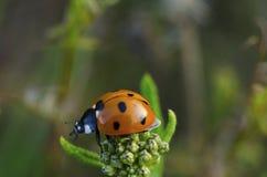瓢虫坐在花顶部 免版税库存照片