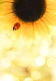 瓢虫坐的向日葵 免版税图库摄影