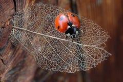 瓢虫宏指令在干燥透明叶子的 免版税库存图片