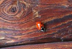 瓢虫宏指令老木表面上的 免版税库存照片