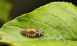 瓢虫幼虫顶视图 图库摄影