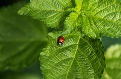 瓢虫或瓢虫在马樱丹属叶子 免版税图库摄影